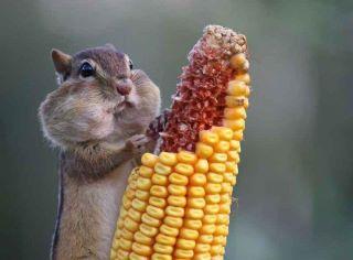 un animal avec du maïs